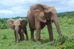 Zuid Afrikaanse Olifanten