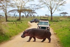 Nijlpaart op de weg in Tanzania