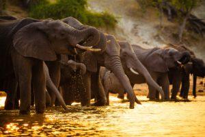 olifanten drinken in Chobe National Park - Botswana