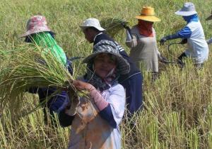 rijstvelden in cambodja